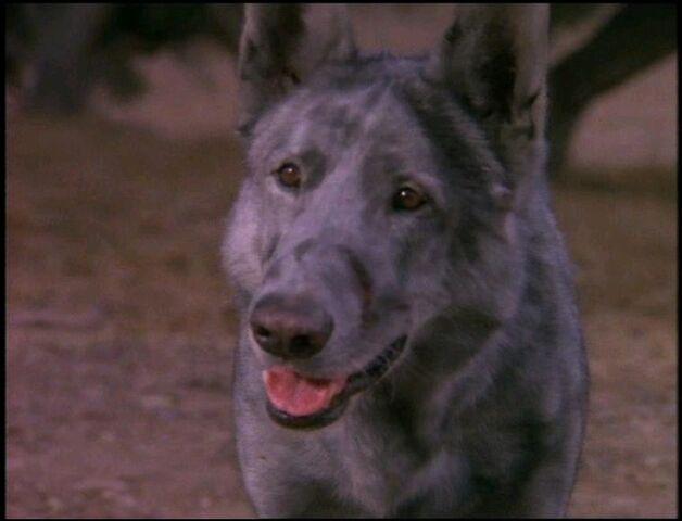 File:Homeless Wolf Dog.jpg