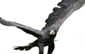 File:Great Black Hawk MP1.jpg