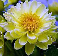 File:Flor1.jpg