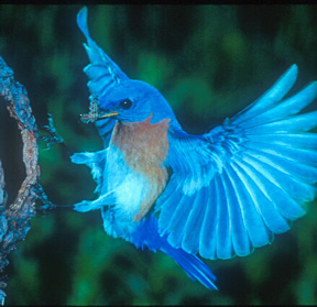File:Bluebird.jpg