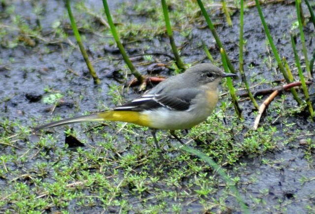 File:Grey Wagtail.JPG
