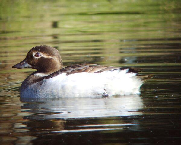 File:Long-tailedDuckPeckham3edited.jpg
