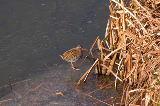 File:Water Rail on ice .jpg