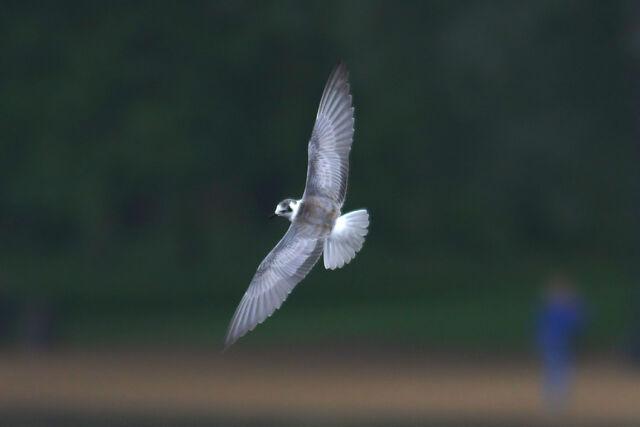 File:White-winged Black Tern juv in flight over Serpentine Hyde Park 28 9 10.JPG
