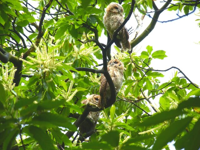 File:Tawny owlets Kensington Gardens.jpg