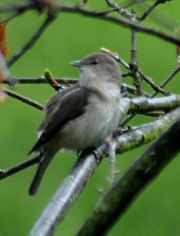 File:Garden Warbler.JPG