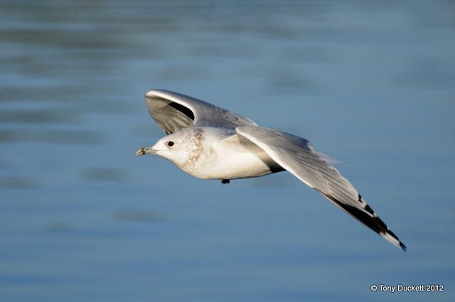 File:Common Gull.jpg