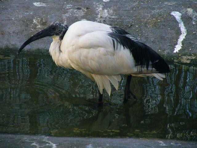 File:African Sacred Ibis - Golders Green Park.JPG