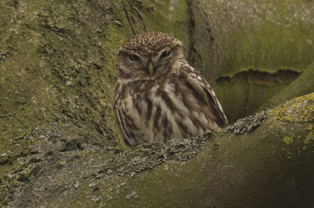 File:Little Owl, Kew Gardens, 2-3-2012.jpg