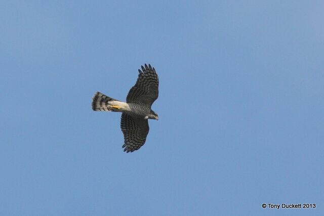 File:Sparrowhawk.JPG
