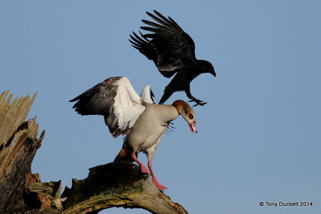 File:Egyptian Goose & Crow.JPG
