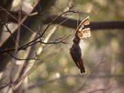 (Dead Blackbird caught in fishing line)