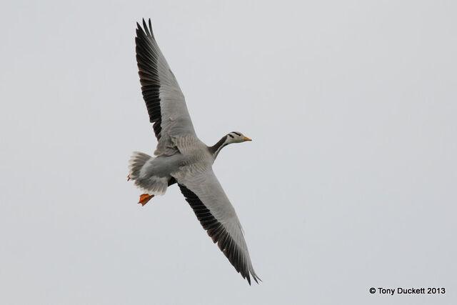 File:Bar-headed Goose.jpg