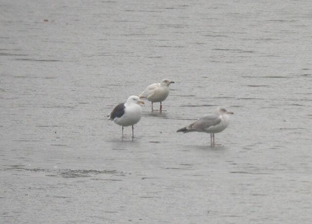 File:Leucistic Gull GWs 16-01-10.jpg