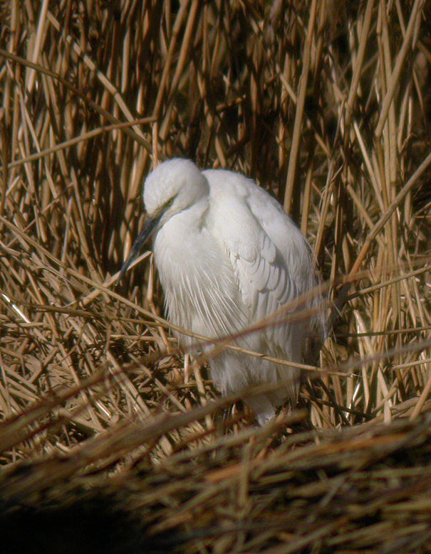 Little Egret MHP 30-01-2010 msr