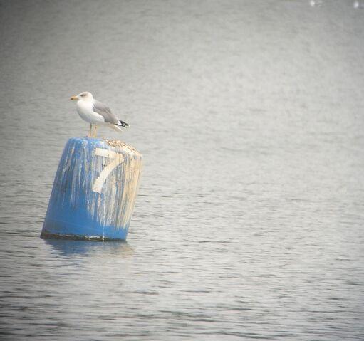 File:YL Gull crop.jpg