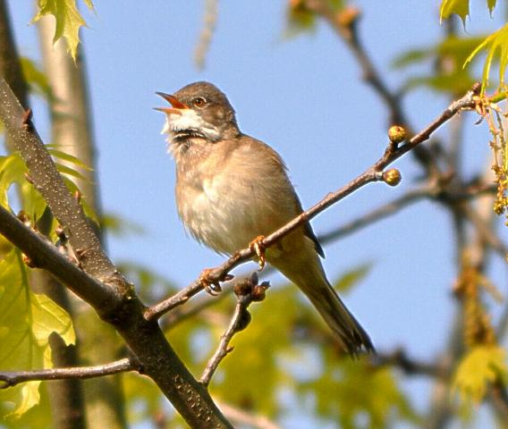 File:Common Whitethroat at Wimbledon Common, April 2014.JPG