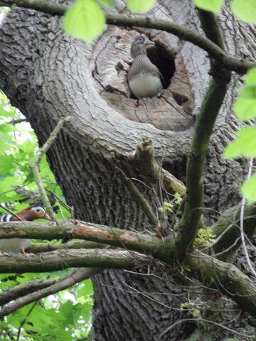 File:Nesting manderin 1.JPG