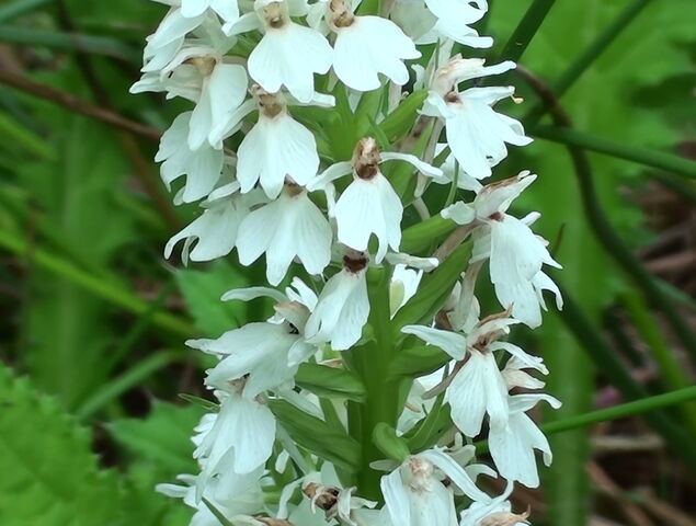 File:Orchid Stanmore Common.JPG