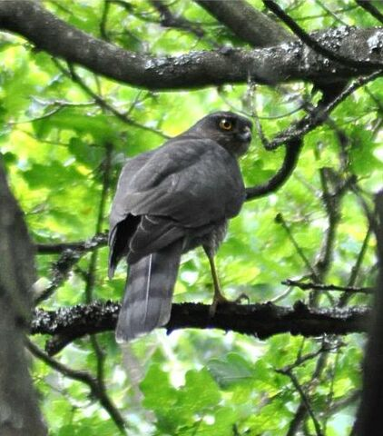 File:Sparrowhawk on Wimbledon Common.JPG