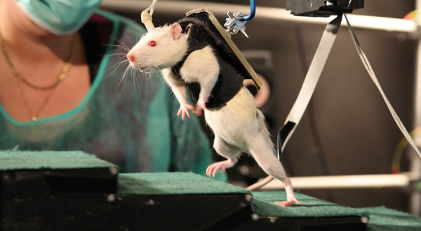 File:01rats1-articleLarge.jpg