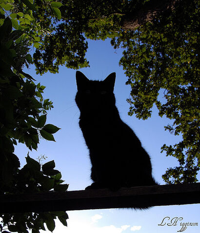 File:The Silhouette Cat.jpg