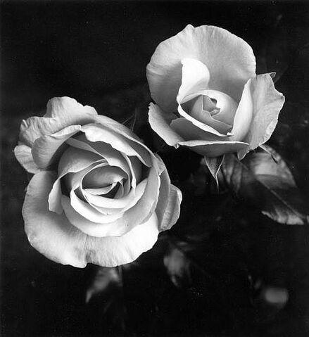File:Gray roses.jpg