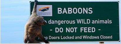 File:Baboon.png