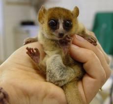 File:Goodman mouse lemur.jpg