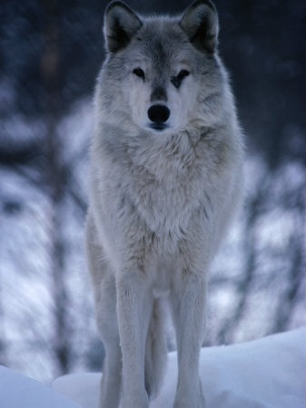 File:Timberwolf.jpg