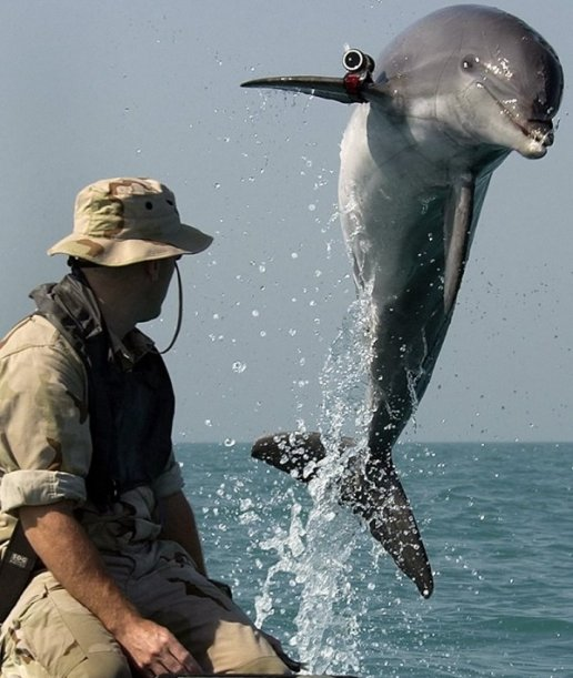Navy-Dolphin
