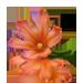 Standard 75x75 collect cape tulip