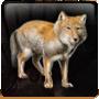 Tibetan Sand Fox Feed
