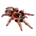 Item pinkbirdeatertarantula 01