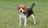 Beagle-3-645mk062311