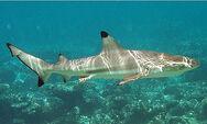 Black tip reef shark