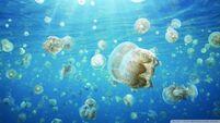 Jellyfish invasion-wallpaper-960x540