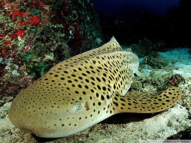 File:Leopard shark-wallpaper-800x600.jpg