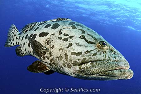 Potato Cod | Marine Wiki | FANDOM powered by Wikia Pacific Ocean Underwater Animals
