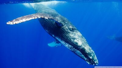 Humpback whale-wallpaper-960x540