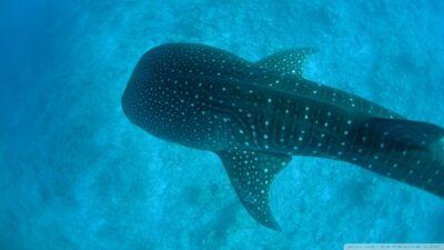 Whale shark-wallpaper-960x540