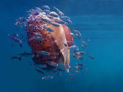 Jelly-fish-adriatic-sea