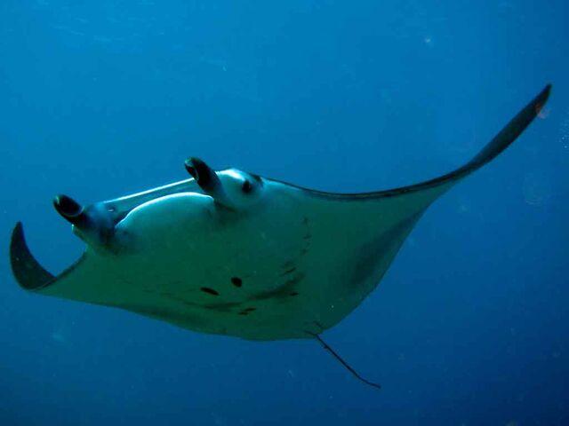 File:Manta-ray-wallpaper-3.jpg
