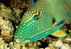 Rainbow-parrotfish-pictures 2