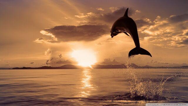File:Jumping dolphin-wallpaper-960x540.jpg