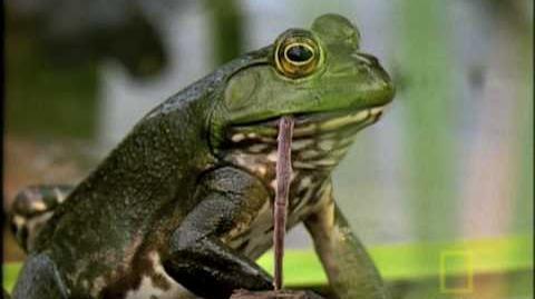 Bullfrog Hunts..