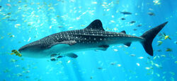 Whale shark Georgia aquarium