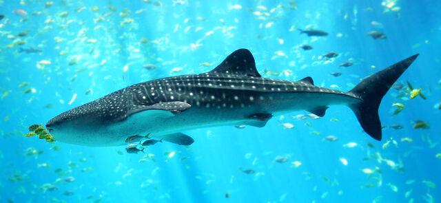 File:Whale shark Georgia aquarium.jpg