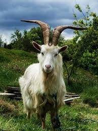 File:Goats2.jpg