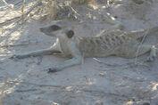 Boabab young meerkat